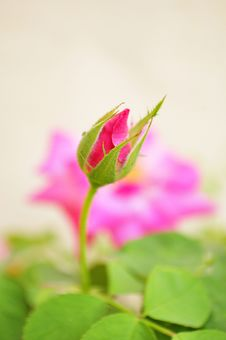 Free Rose Bud Royalty Free Stock Photos - 13760758