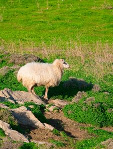 Free Ram On A Rock In The Middle Of Green Meadows Stock Image - 13761581