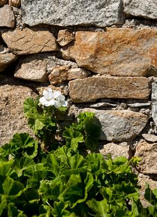 Free Blooming Geraniums On The Stone Wall Stock Images - 13761704