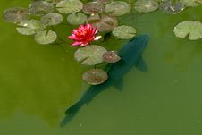 Free Carp In A Waterlily-pond Royalty Free Stock Photography - 13761867
