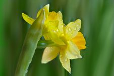 Free Narcissus Flower Stock Photos - 13761883