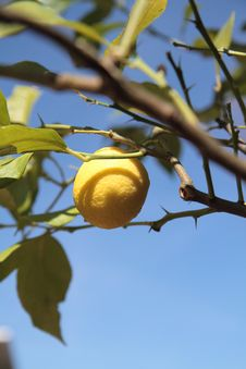 Free Lemon Royalty Free Stock Photography - 13763007