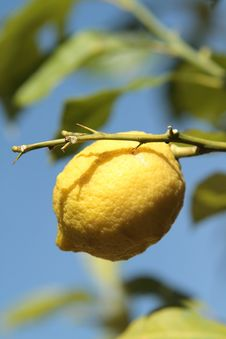 Free Lemon Royalty Free Stock Image - 13763016