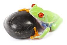 Free Tree Frog Royalty Free Stock Images - 13763889