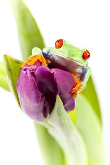 Free Frog On Tulip Royalty Free Stock Images - 13764299