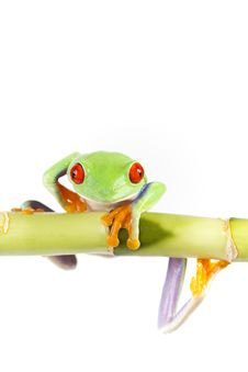 Free Frog On Bamboo Royalty Free Stock Images - 13764979