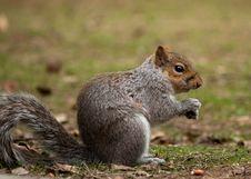 Free Eating Squirrel Royalty Free Stock Image - 13765276