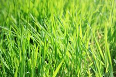Free New Grass Royalty Free Stock Photography - 13765317