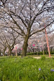 Free Cherry Blossom Trees Royalty Free Stock Photography - 13765467
