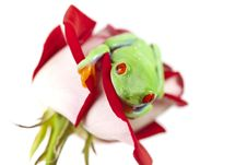 Free Frog On Red Rose Royalty Free Stock Photo - 13765685