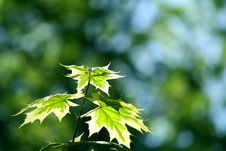 Free Maple Leaf Green Background Royalty Free Stock Image - 13765766