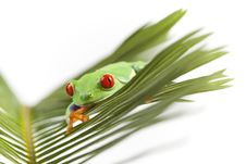 Free Small Frog Royalty Free Stock Photo - 13766135