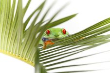 Free Frog Royalty Free Stock Images - 13766209
