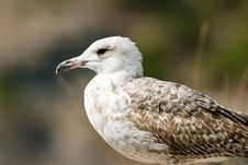 Free Seagull On The Rock Stock Image - 13766311