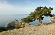 Free Pine Tree On Sea Coast Royalty Free Stock Images - 13766979