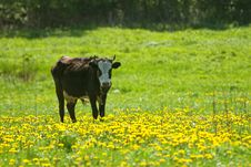 Cow On The Pasture Royalty Free Stock Photo