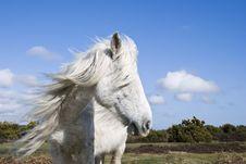 Free Beautiful White Horse Royalty Free Stock Photography - 13767737