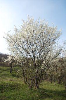 Free Spring Tree Royalty Free Stock Image - 13767996
