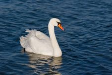 Free White Beautiful Swan Royalty Free Stock Images - 13768029