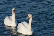 Free Two Lovers Swan Stock Photography - 13768262