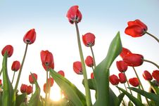 Free Red Tulips Stock Photo - 13768610