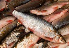 Free Fish  Fresh Royalty Free Stock Photography - 13768647