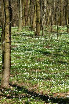 Free Wood Anemones Royalty Free Stock Image - 13769096