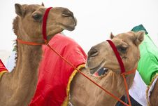 Free Camels Strike A Pose Stock Images - 13769244