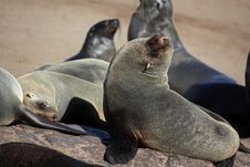 Cape Fur Seals, Skeleton Coast, Namibia Royalty Free Stock Photography