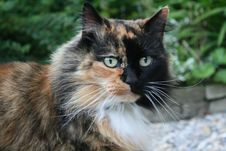 Free Long Haired Tortoise Shell Cat Royalty Free Stock Photography - 13769637