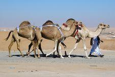 Free Caravan Of Camels Stock Photos - 13769873