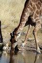 Free Giraffe Drinking Stock Photos - 13770573