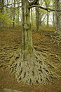 Free Large Tree Roots II Stock Images - 13773784