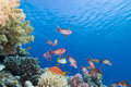 Free Lyretail Anthias And Coral Reef Royalty Free Stock Photo - 13779305