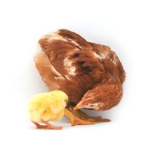 Free Brown Hen And Chick Stock Photography - 13770132