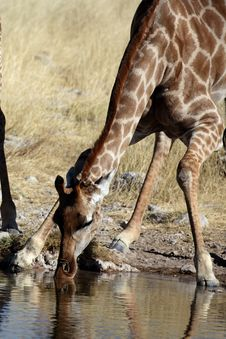 Free Giraffe Drinking Stock Photos - 13770573