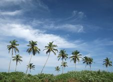 Free Coconut Palms And Blue Sky Royalty Free Stock Photos - 13772248
