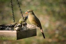 Free Female Cardinal At The Feeder Stock Image - 13772521