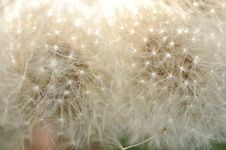 Free Dandelion Stock Photos - 13772973