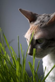Free Cornish Rex Cat In Grass Stock Images - 13773074