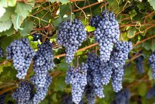 Free Violet Grapes Royalty Free Stock Images - 13773319