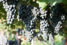 Free Sweet Grapes Stock Photo - 13773330
