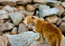 Red Cat On The Rocks Royalty Free Stock Image