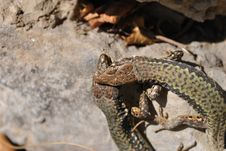 Free Bite Of Lizard Royalty Free Stock Photography - 13774747