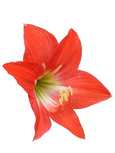 Free Red Lily Isolated On White Royalty Free Stock Photo - 13774885