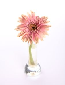 Free Withered Pink Gerbera Stock Photography - 13775502