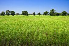 Free Rice Fields Stock Image - 13775541