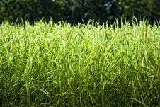 Free Rice Fields Royalty Free Stock Image - 13775566
