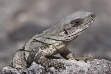 Free Iguana Reptile Stock Photography - 13775752