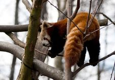 Free Red Panda Royalty Free Stock Images - 13775859
